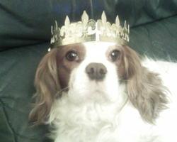 Pistache, chien Cavalier King Charles Spaniel