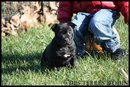 Framboise, chien Staffordshire Bull Terrier