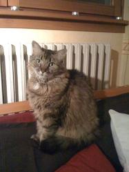 Pelote, chat Européen