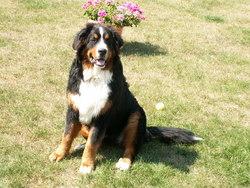 Danko, chien Bouvier bernois