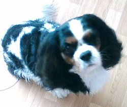 Triskell, chien Cavalier King Charles Spaniel