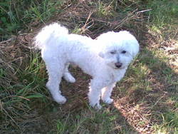 Snoopy, chien Bichon bolonais