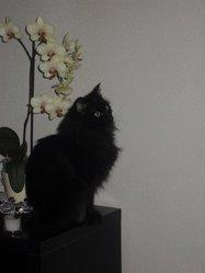 Salomé, chat Angora turc