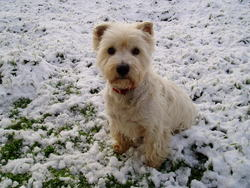 Pepito, chien West Highland White Terrier