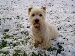 Pepito, chien West Highland White Terrier
