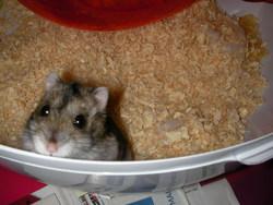 Lol, rongeur Hamster
