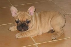 Achille, chien Bouledogue français