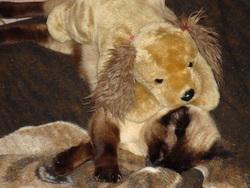 Kikou, chat Siamois