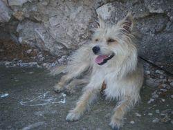 Yellow, chien Griffon belge