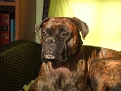 Diego, chien Boxer