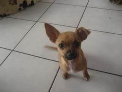 Misha, chien Chihuahua