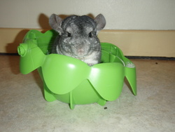 Pimou, rongeur Chinchilla