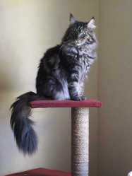 Romeo, chat Maine Coon