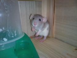 Nougatine, rongeur Rat