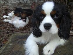 Eddy, chien Cavalier King Charles Spaniel