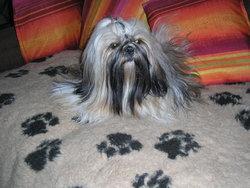 Betty, chien Shih Tzu