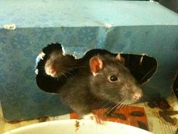 Ninou, rongeur Rat