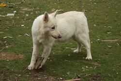 Roxane, chien Berger blanc suisse
