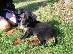 Biscotte, chien Beauceron