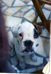 Urban, chien Boxer