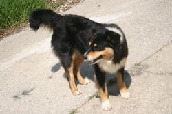 Epsi, chien Berger australien
