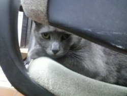 Prince, chat Chartreux