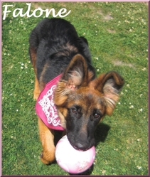 Falone, chien Berger allemand