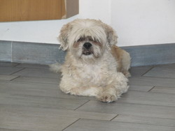 Beethoven, chien Lhassa Apso