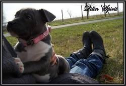 Fibi, chien American Staffordshire Terrier