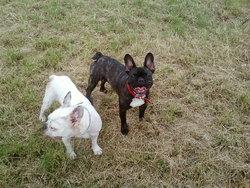 Fanny, chien Bouledogue français