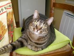 Albin, chat Européen