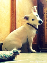 Plume, chien Jack Russell Terrier
