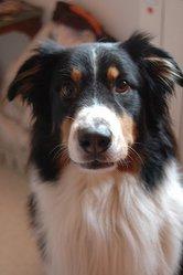 Varum, chien Berger australien