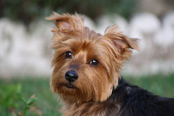 Lilly, chien Yorkshire Terrier