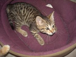 Mew, chat Gouttière