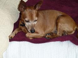 Ulysse, chien Pinscher