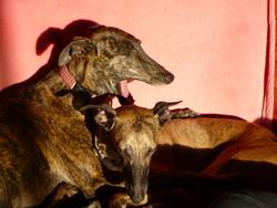 Kiwi, chien Whippet
