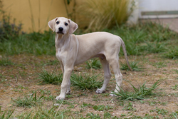 Gwafa, chien Sloughi