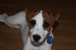 Victoria, chien Parson Russell Terrier