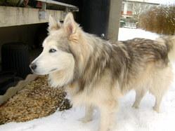 Titeuf, chien Malamute de l'Alaska