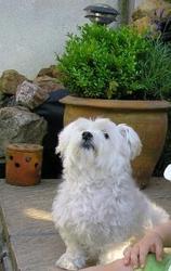 Austin, chien Bichon maltais