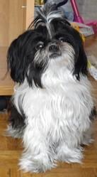 Mary, chien Shih Tzu