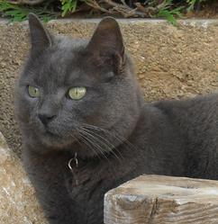 Star, chat Chartreux