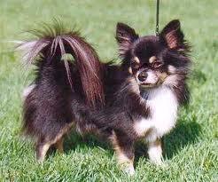 Daisy , chien Chihuahua