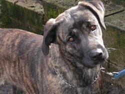 Dolce, chien Cão fila de São Miguel