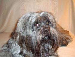 Spassy, chien Lhassa Apso