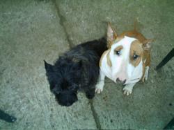 Tibull, chien Bull Terrier