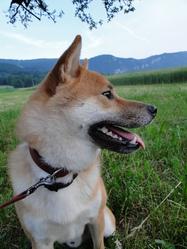 Starbuck, chien Shiba Inu