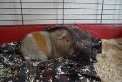 Nuage, rongeur Cochon d'Inde