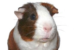 Otto, rongeur Cochon d'Inde